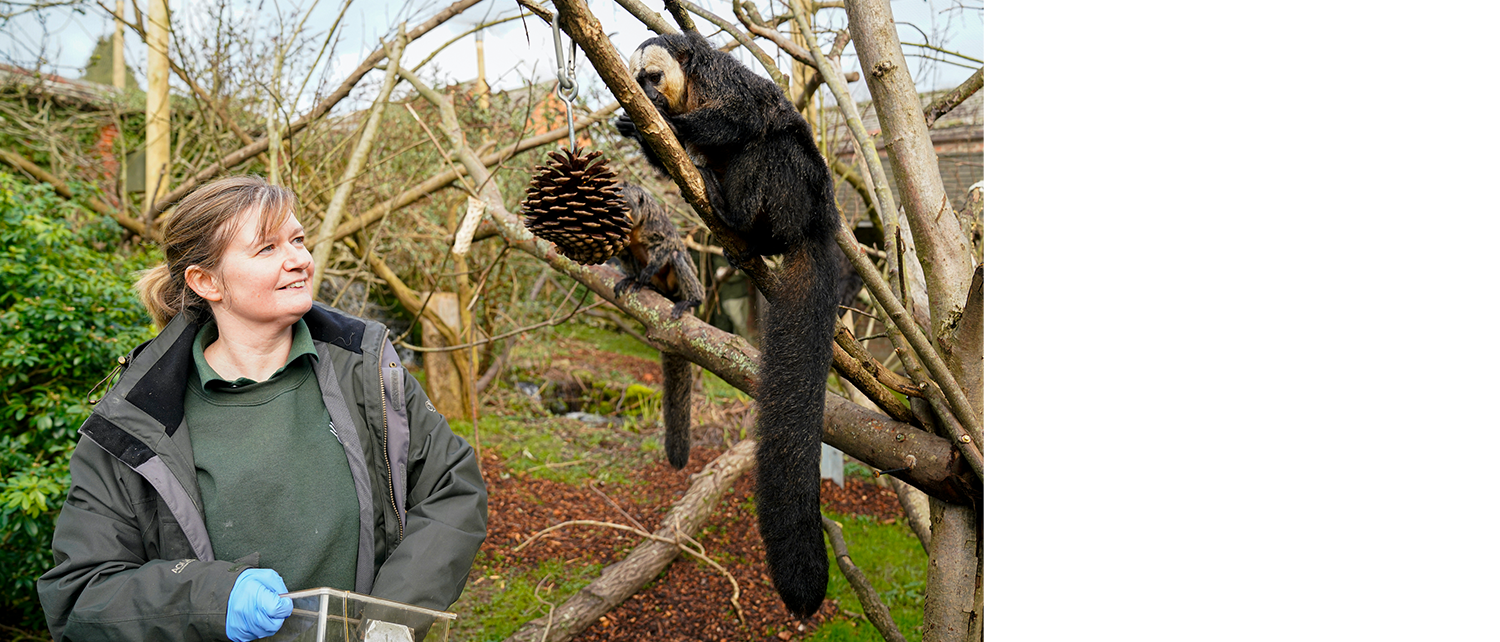 Animal keeper at Marwell Zoo hanging food for white-faced saki monkeys