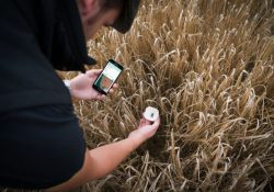 Male in wheat field using app on a mobile phone