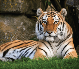 An Amur tiger lying in its enclosure at Marwell Zoo