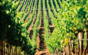 Vineyards at Bolney Wine Estate, a business Shawbrook supports with finance