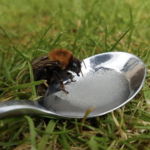 A bee feeding from sugar on a spoon